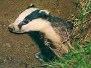 badger-jpg-w180h134