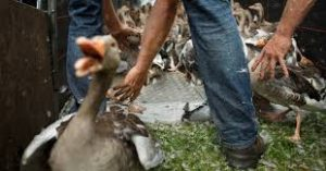 geese-slaughter-holland